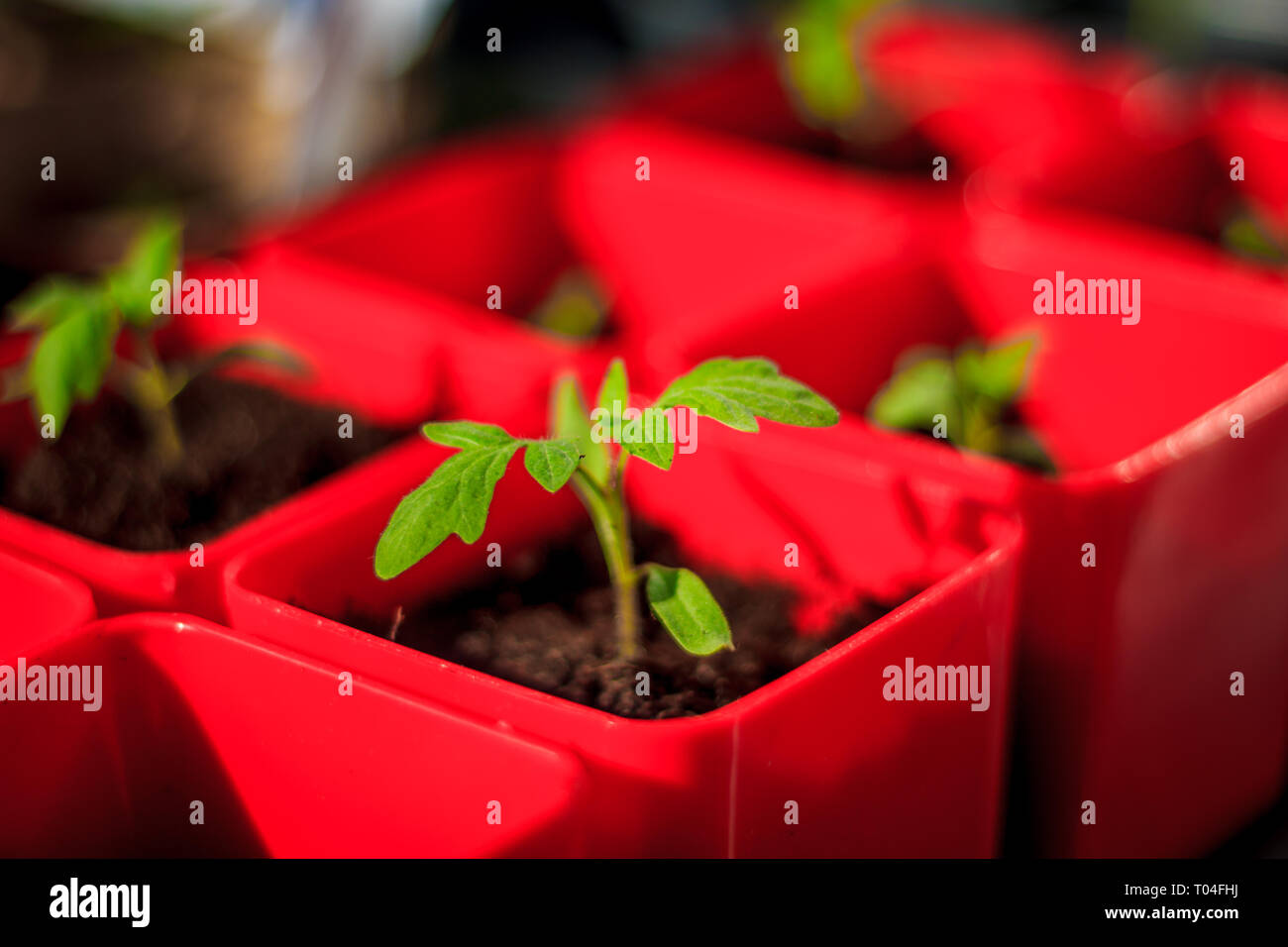 Seedlings at home on the windowsill. Preparing for the season of planting vegetables. Homemade vegetables. Stock Photo
