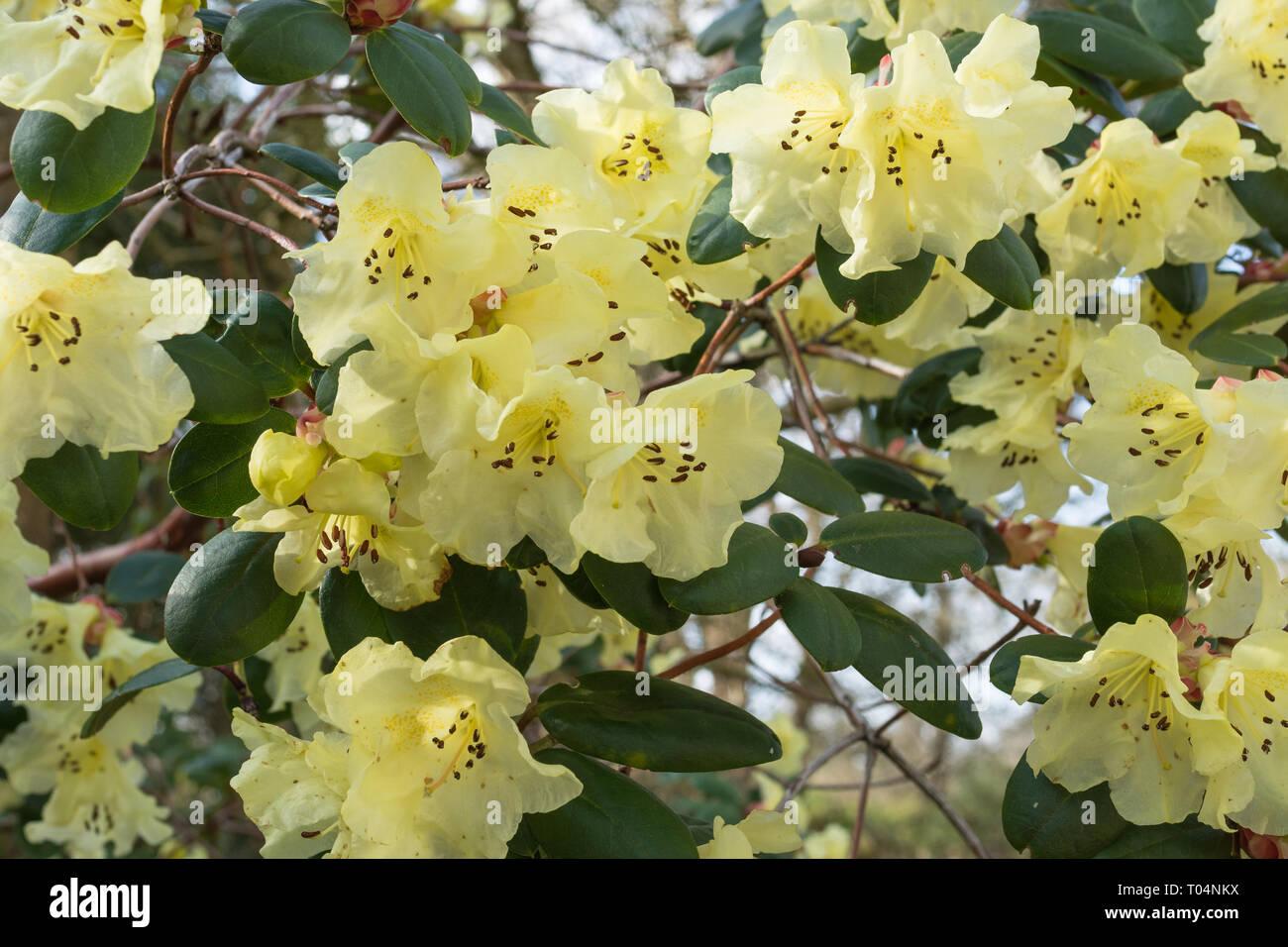 Rhododendron Moupinense X Sulphureum Golden Oriole Talavera A