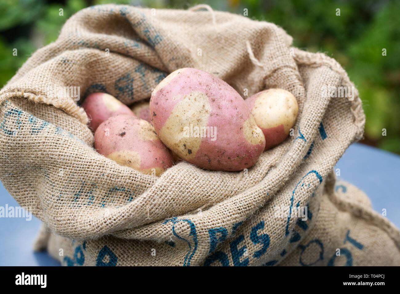 Solanum tuberosum 'Pink Gypsy'. Freshly harvested Potato 'Pink Gypsy' in a hessian sack. - Stock Image
