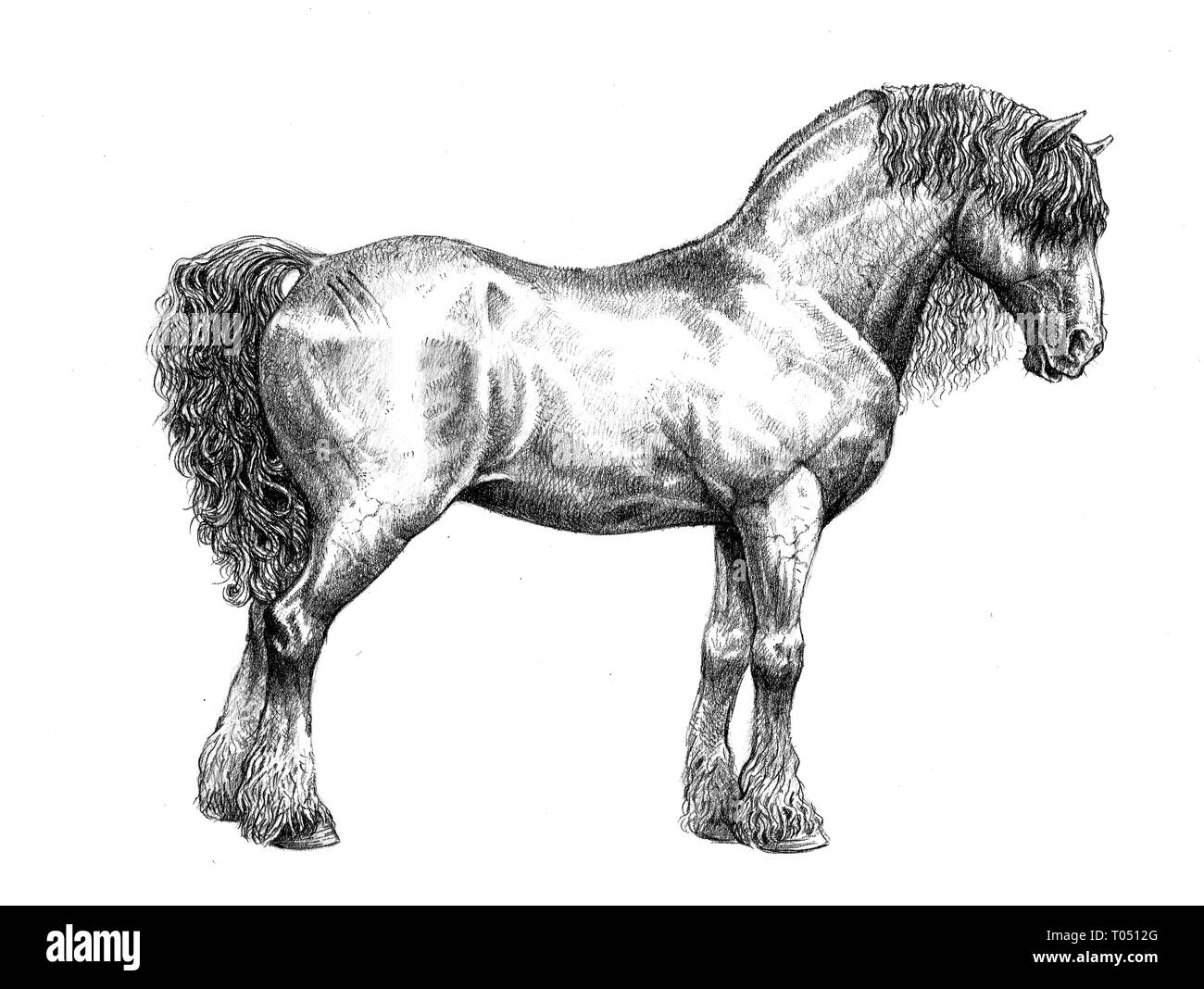 Draft Horse Drawing Strong Horse Pencil Illustration Stock Photo Alamy