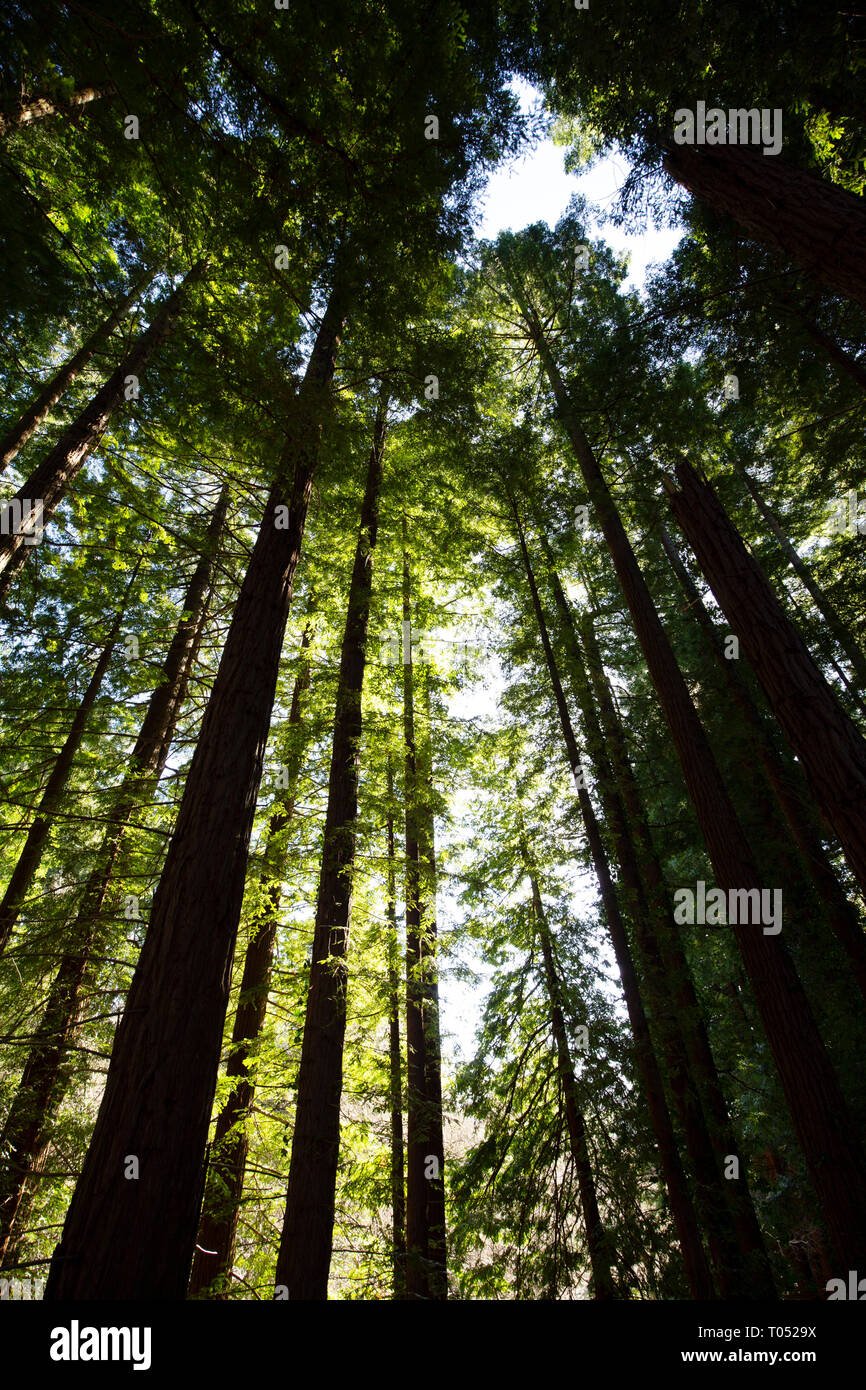 Protected Natural Space. Sequoya (Sequoia sempervirens). Natural Monument of Sequoia trees at Monte Cabezon. Cabezon de la Sal, Cantabria. Spain, Euro - Stock Image