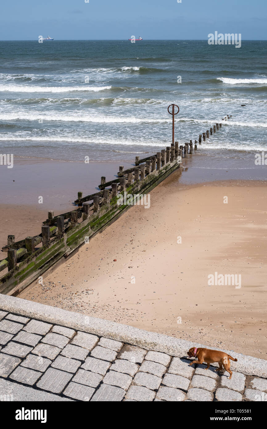A brown dog walks up a slope from Aberdeen beach with a groyne marker in the background on a sunny day, Aberdeenshire, Scotland - Stock Image