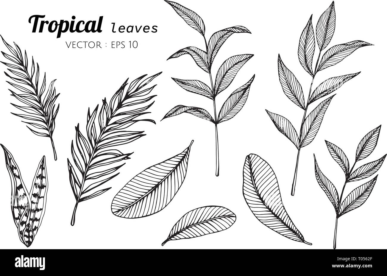 Collection Set Of Tropical Leaves Drawing Illustration For Pattern Logo Template Banner Posters Invitation And Greeting Card Design Stock Vector Image Art Alamy Show off your brand's personality with a custom tropical logo designed just for you by a professional designer. https www alamy com collection set of tropical leaves drawing illustration for pattern logo template banner posters invitation and greeting card design image241059687 html