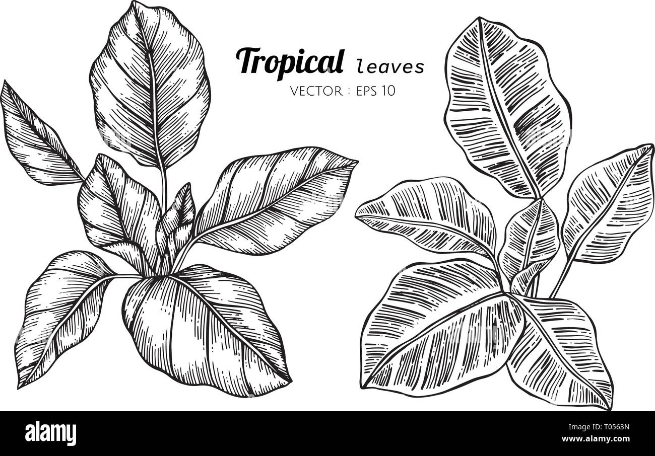 Collection Set Of Tropical Leaves Drawing Illustration For Pattern Logo Template Banner Posters Invitation And Greeting Card Design Stock Vector Image Art Alamy This painting was selected to be the month of july in the 2011 horticulture calendar. https www alamy com collection set of tropical leaves drawing illustration for pattern logo template banner posters invitation and greeting card design image241059721 html