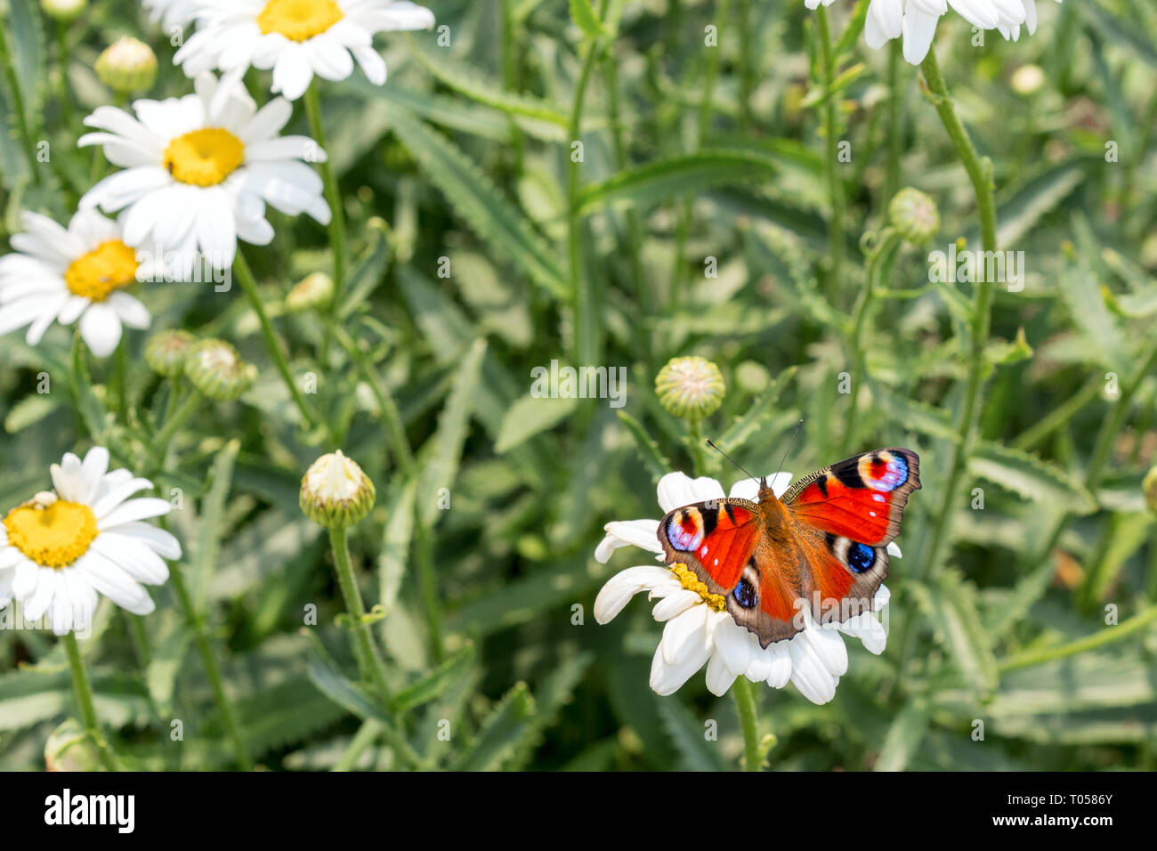 the European peacock butterfly sitting on the white  chamomilla flower petals. close up, macro. - Stock Image