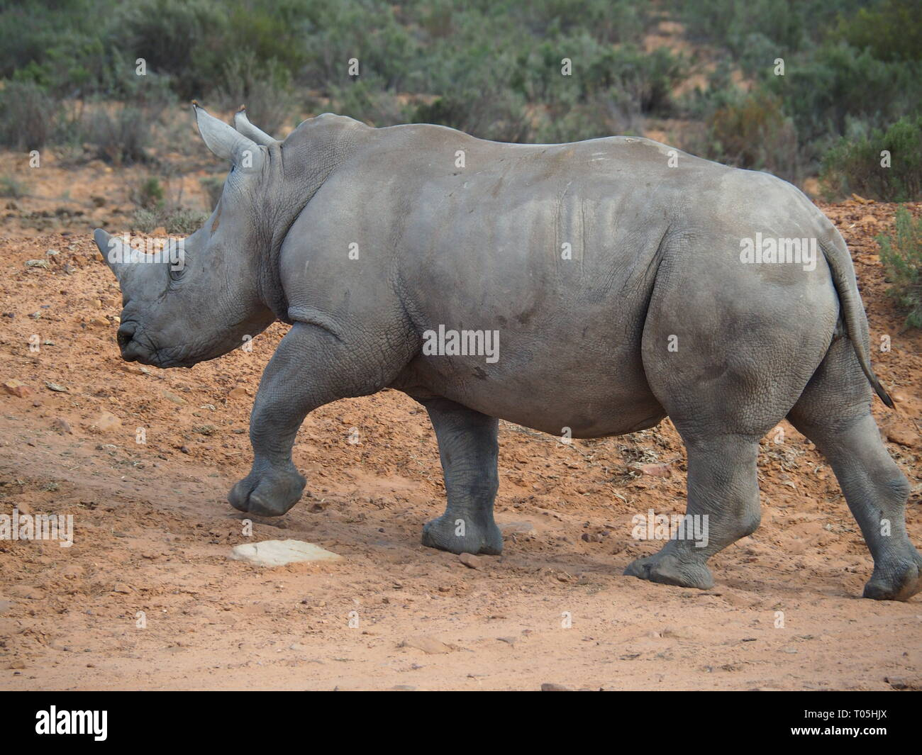 Big-Five-Safari in Südafrika - von Jana Reutin - Stock Image