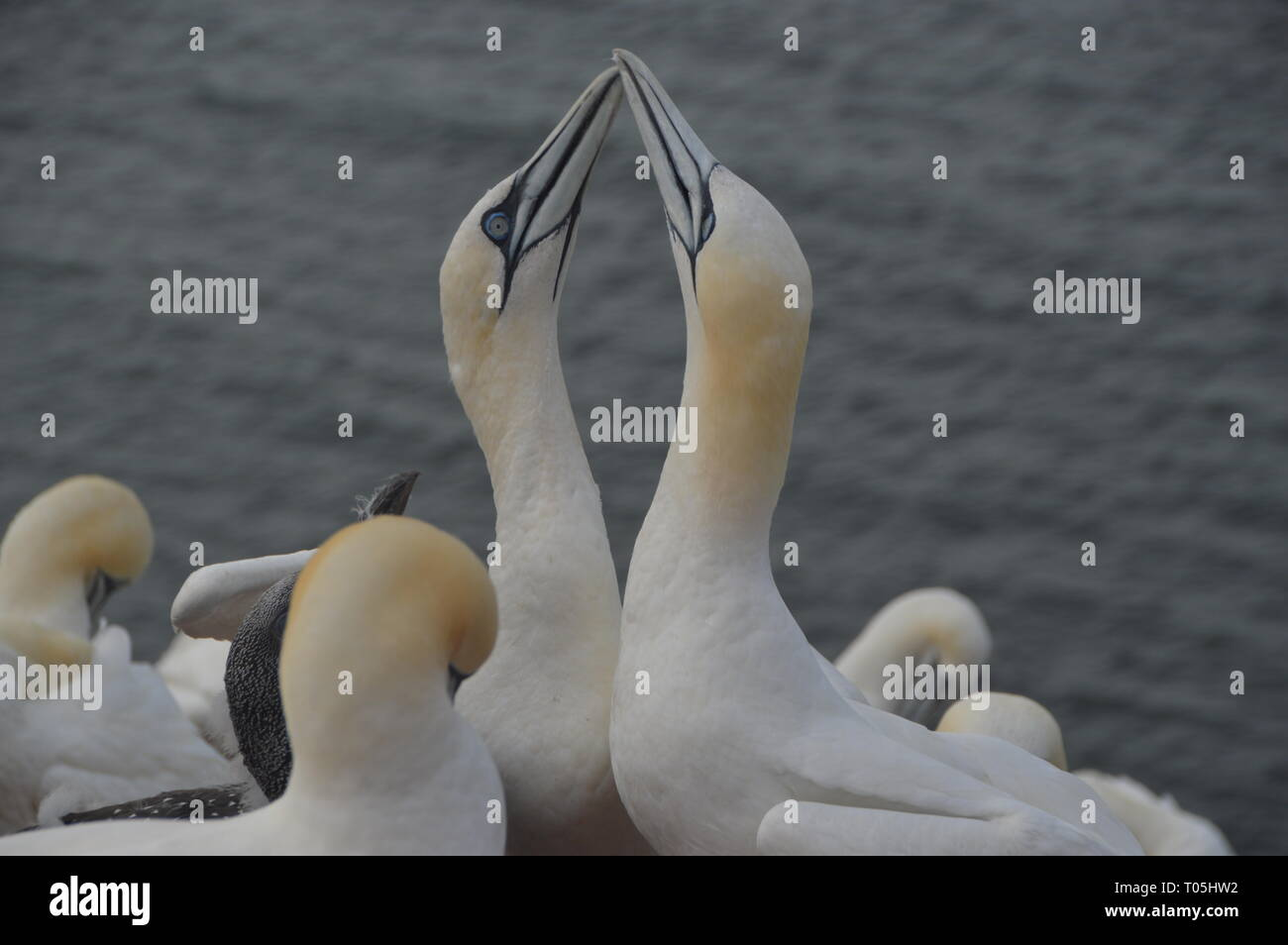 Möwen auf Helgoland, Insel von Deutschland - Stock Image