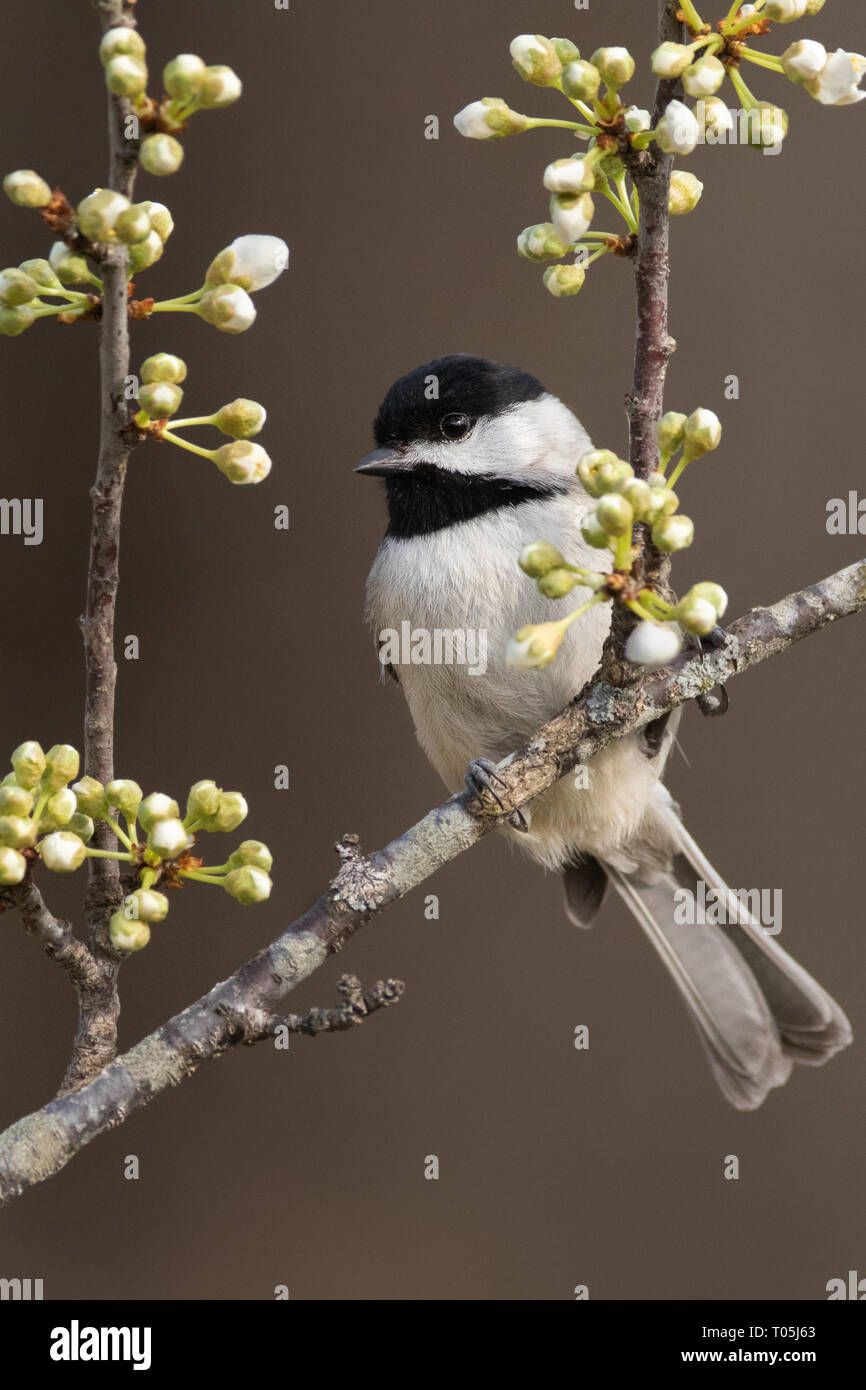 Carolina Chickadee on Plum Branch - Stock Image
