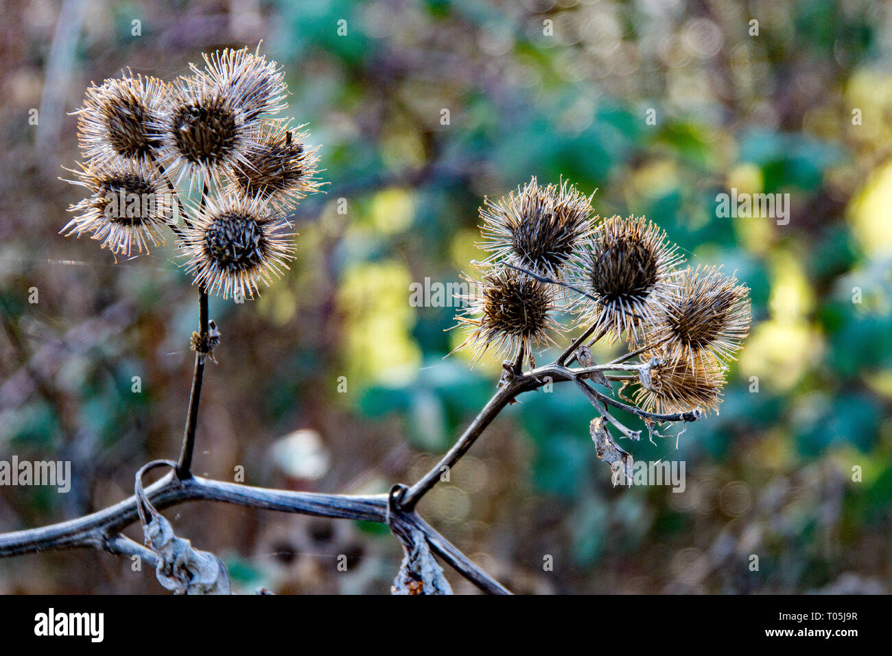 The  prickly Herb Burdock plant or Arctium plant from the  Asteraceae family. This one grows wild in Hertfordshire on the banks of the river Stort. - Stock Image
