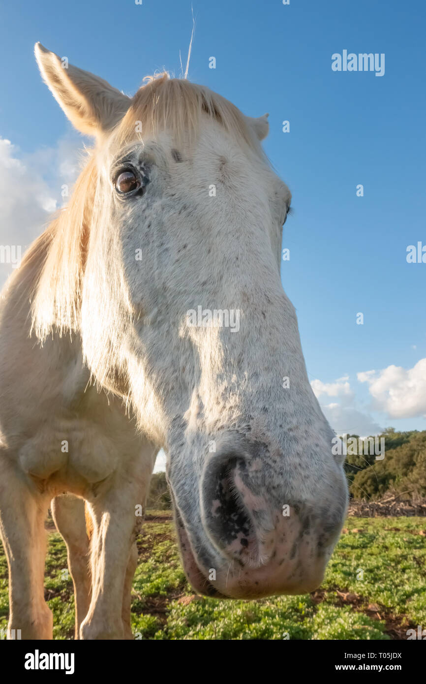 wide angle portrait of a white horse in the meadow against blue sky - Stock Image