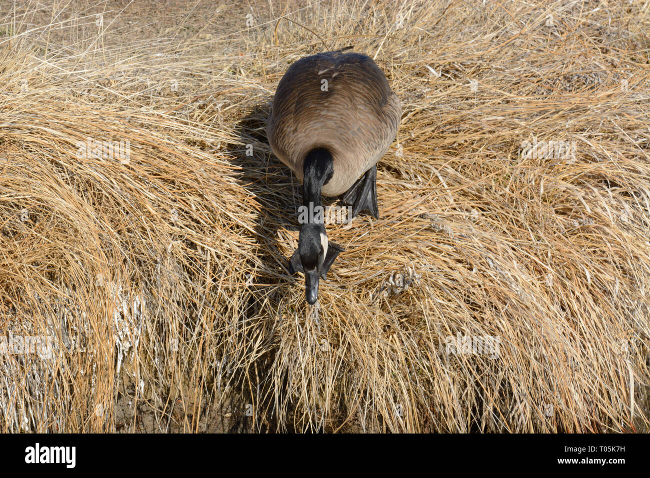 Canada goose looking at steep drop of lake bank with hesitation before descending - Stock Image