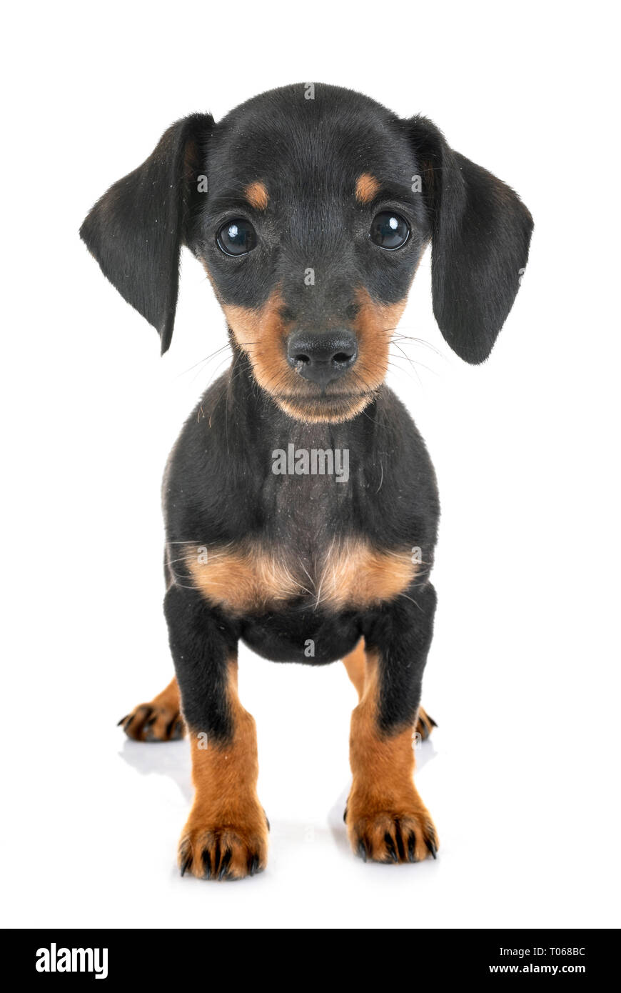 Black Tan Miniature Dachshund Puppy High Resolution Stock Photography And Images Alamy