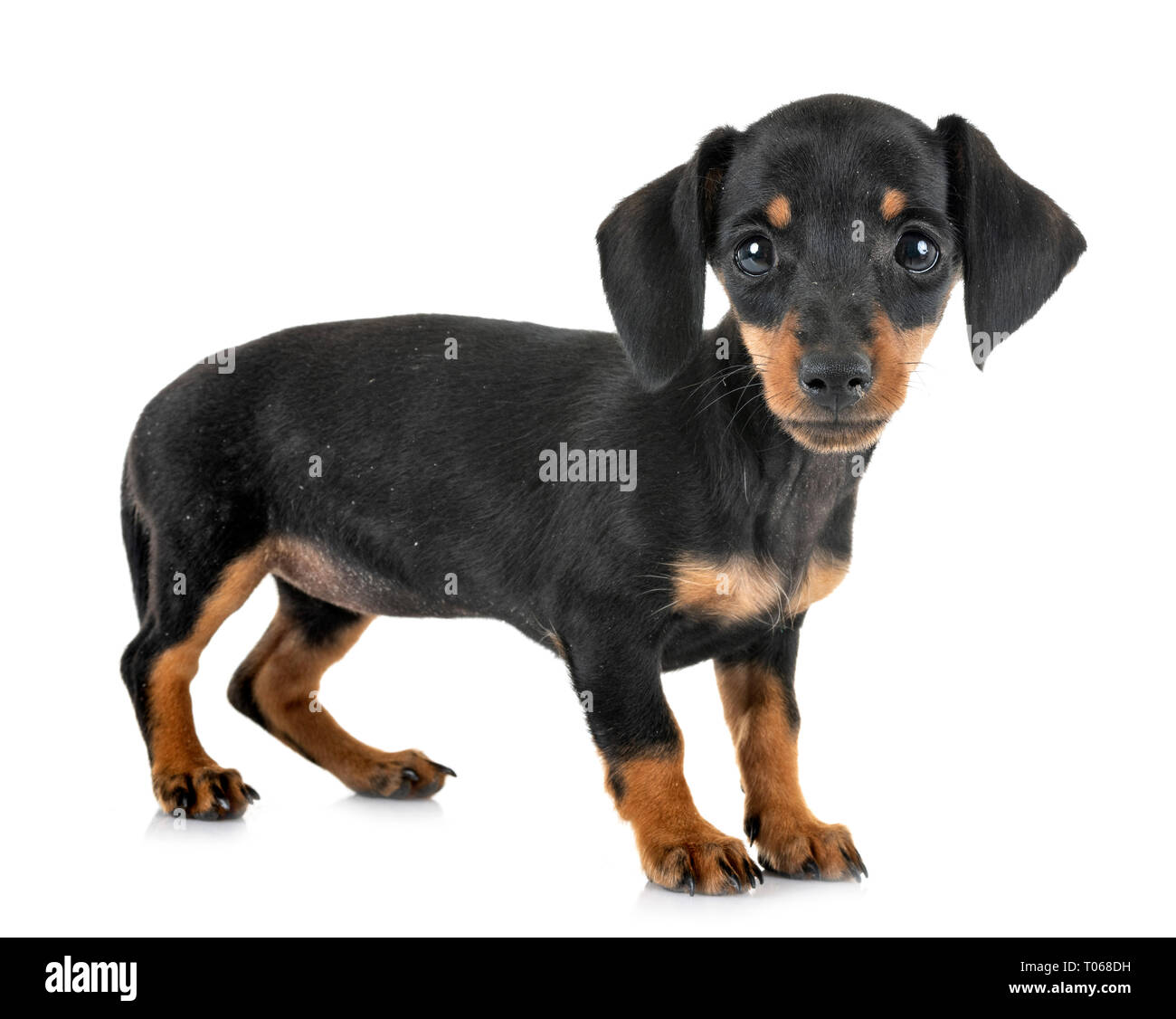 Puppy Black And Tan Miniature Dachshund In Front Of White Background Stock Photo Alamy