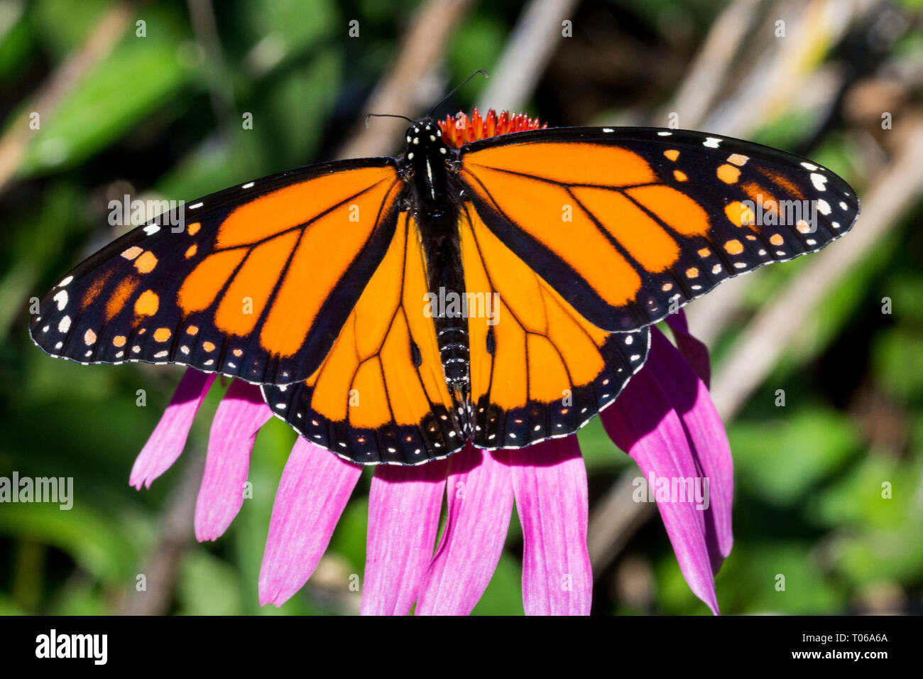 Male Monarch Butterfly Nectaring on Purple Cone flower - Stock Image