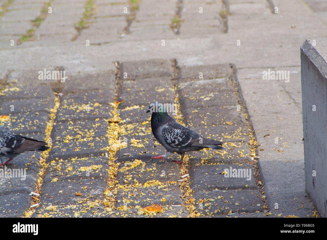 The Wild City Pigeons feed on the promenade along the Danube River in Novi Sad, Serbia Stock Photo