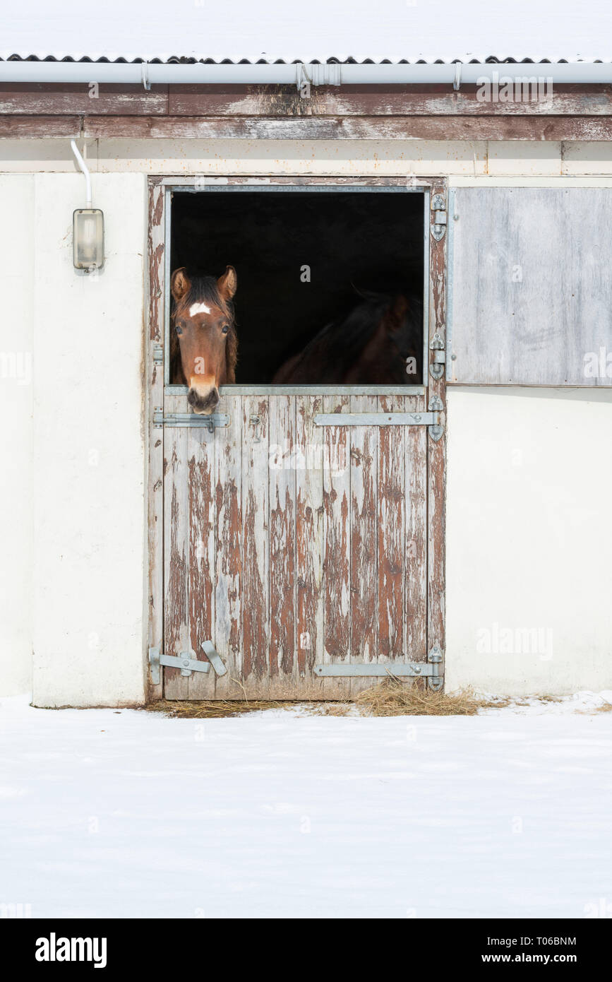 A Lusitano Foal Standing in His Stables Looking out at the Snow - Stock Image