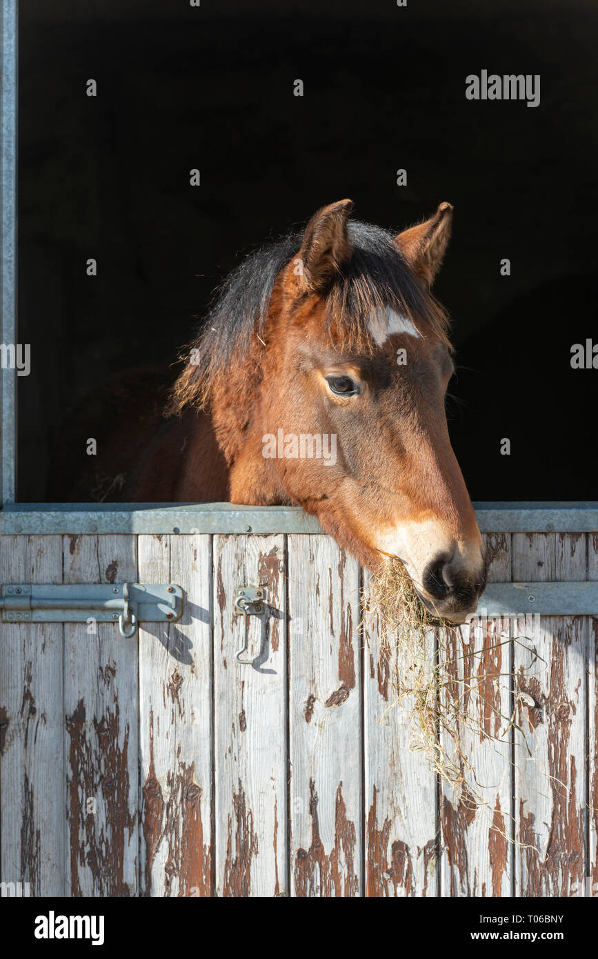 A Lusitano Foal Looks Out From His Stable Door While and Chews Hay - Stock Image