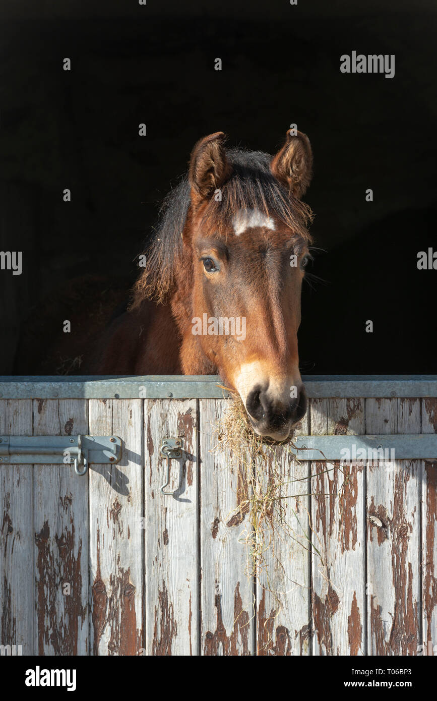 A Lusitano Foal Pokes His Head Over the Stable Door While Eating Hay - Stock Image