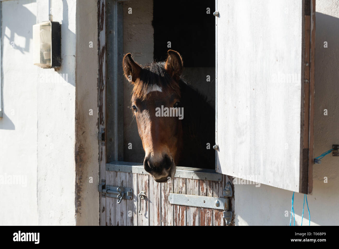 A Lusitano Foal Looks Out Over the Half Door of His Stable - Stock Image