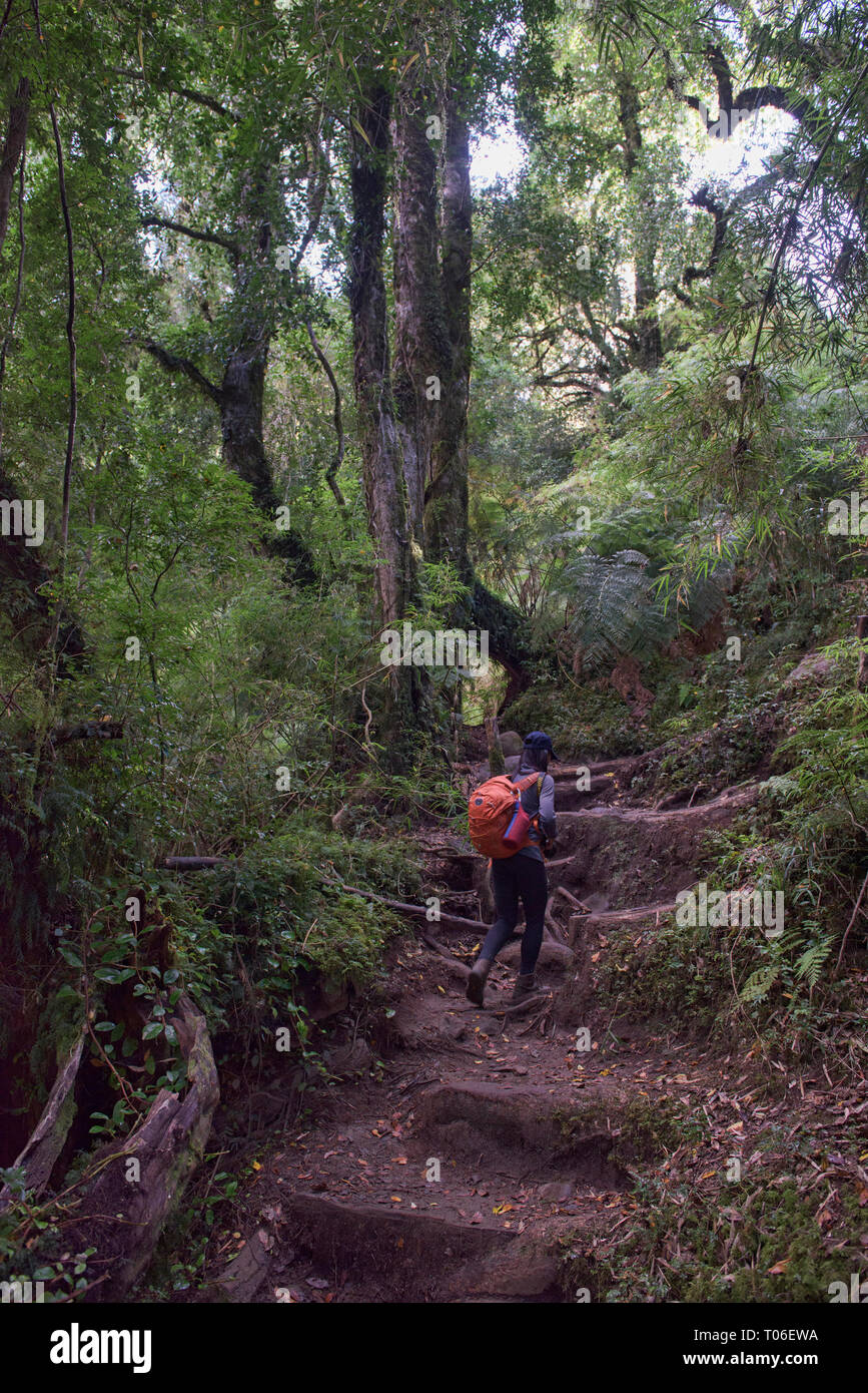Trekking in temperate rain forest in Queulat National Park, Patagonia, Aysen, Chile - Stock Image