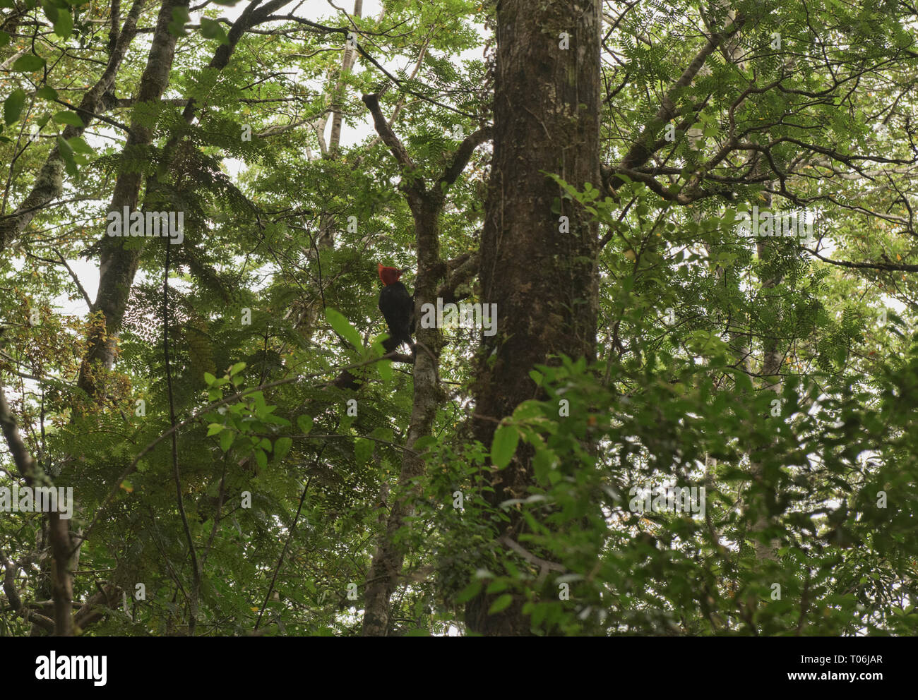 Magellanic woodpecker (Campephilus magellanicus) in Queulat National Park, Patagonia, Aysen, Chile - Stock Image