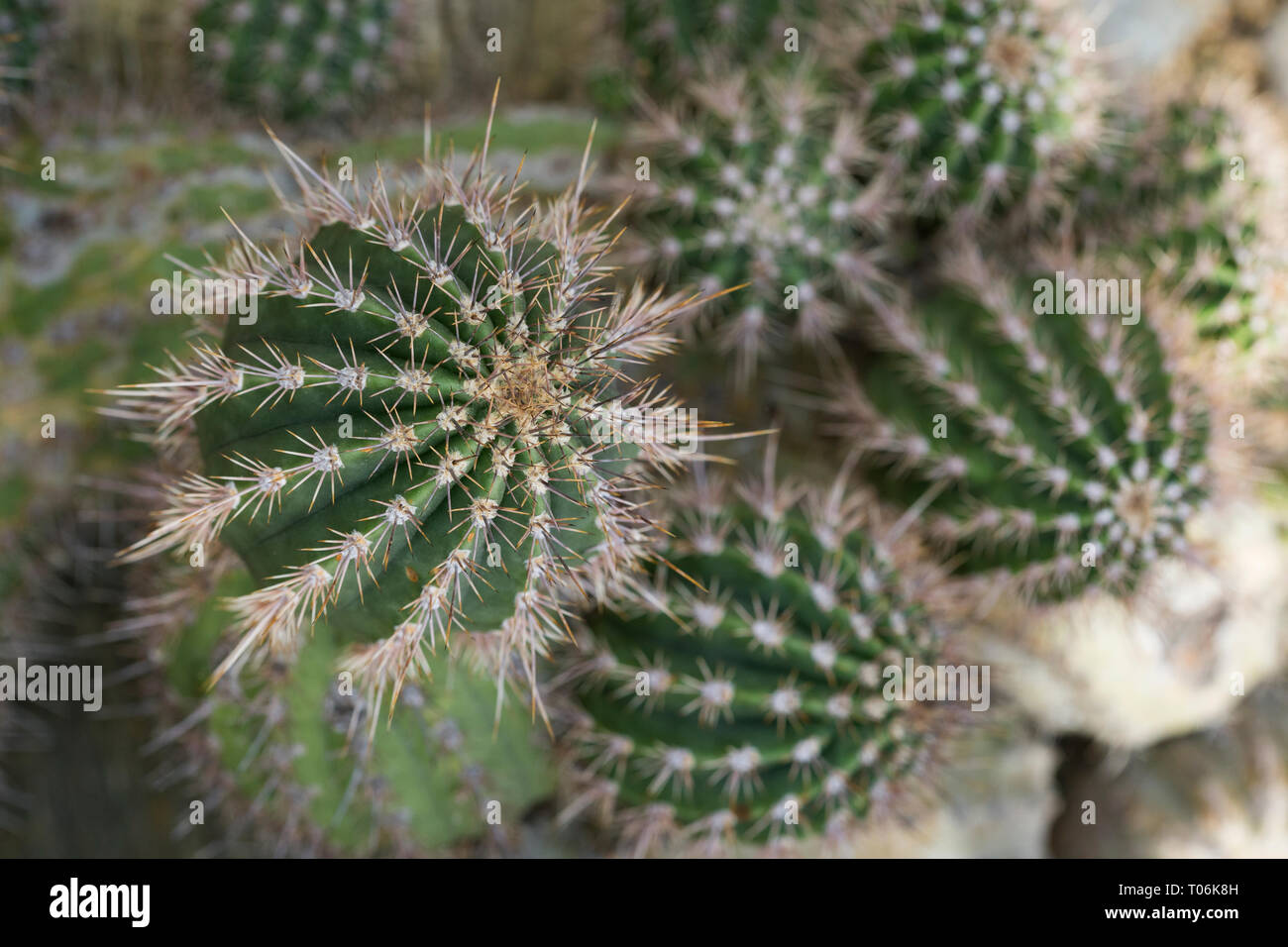 Close-up of spiky Echinopsis leucantha cacti viewed from above Stock Photo