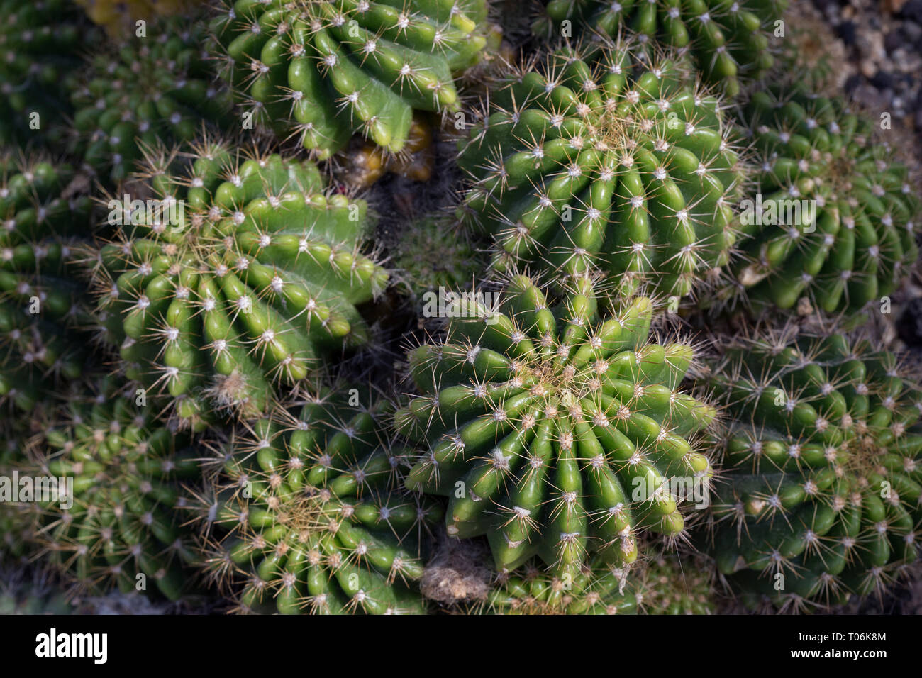 Close-up of several spiky Echinopsis calochlora cacti viewed from above. Stock Photo