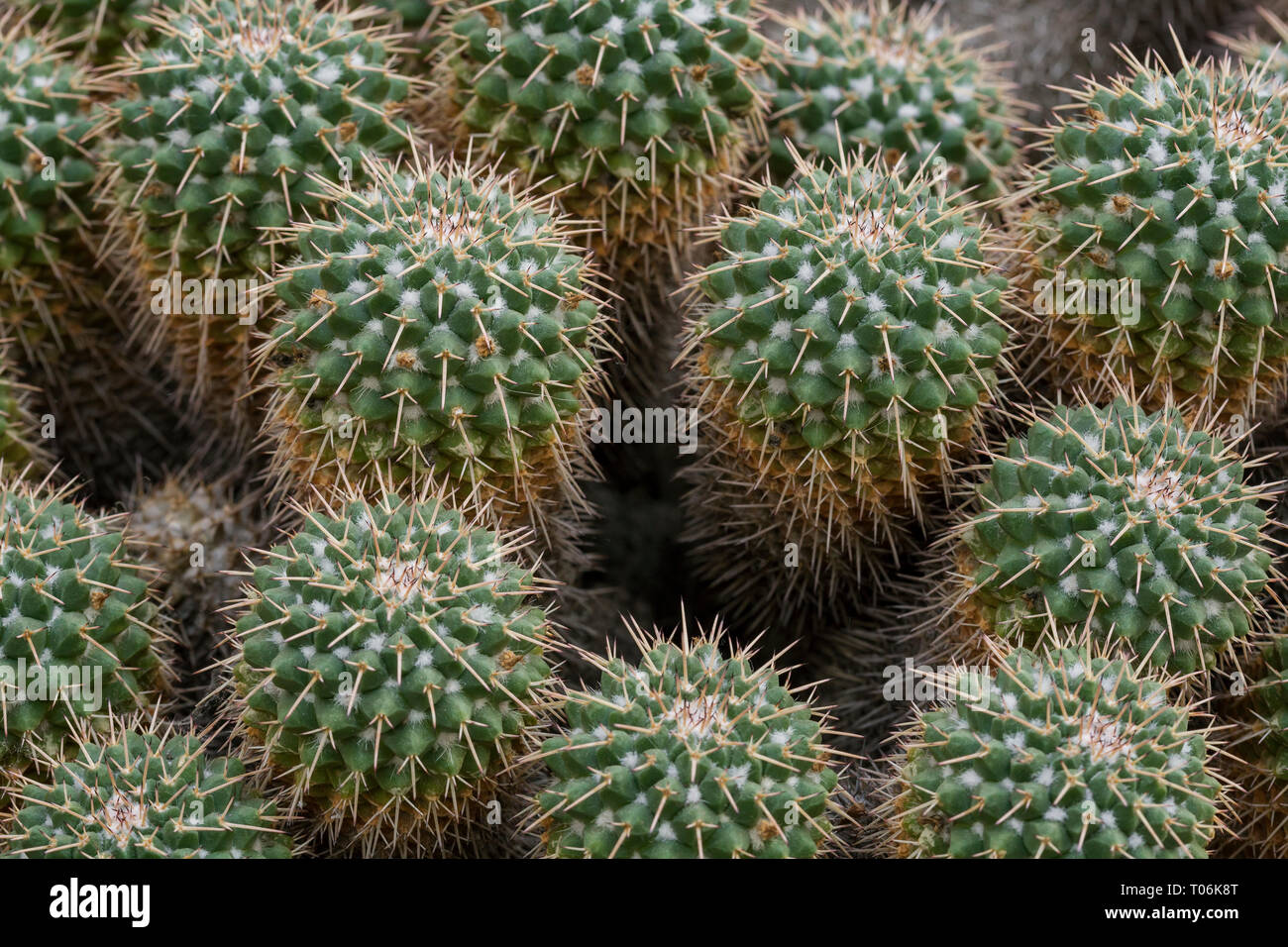 Close-up of several spiky Mammillaria compressa cacti viewed from above. Stock Photo