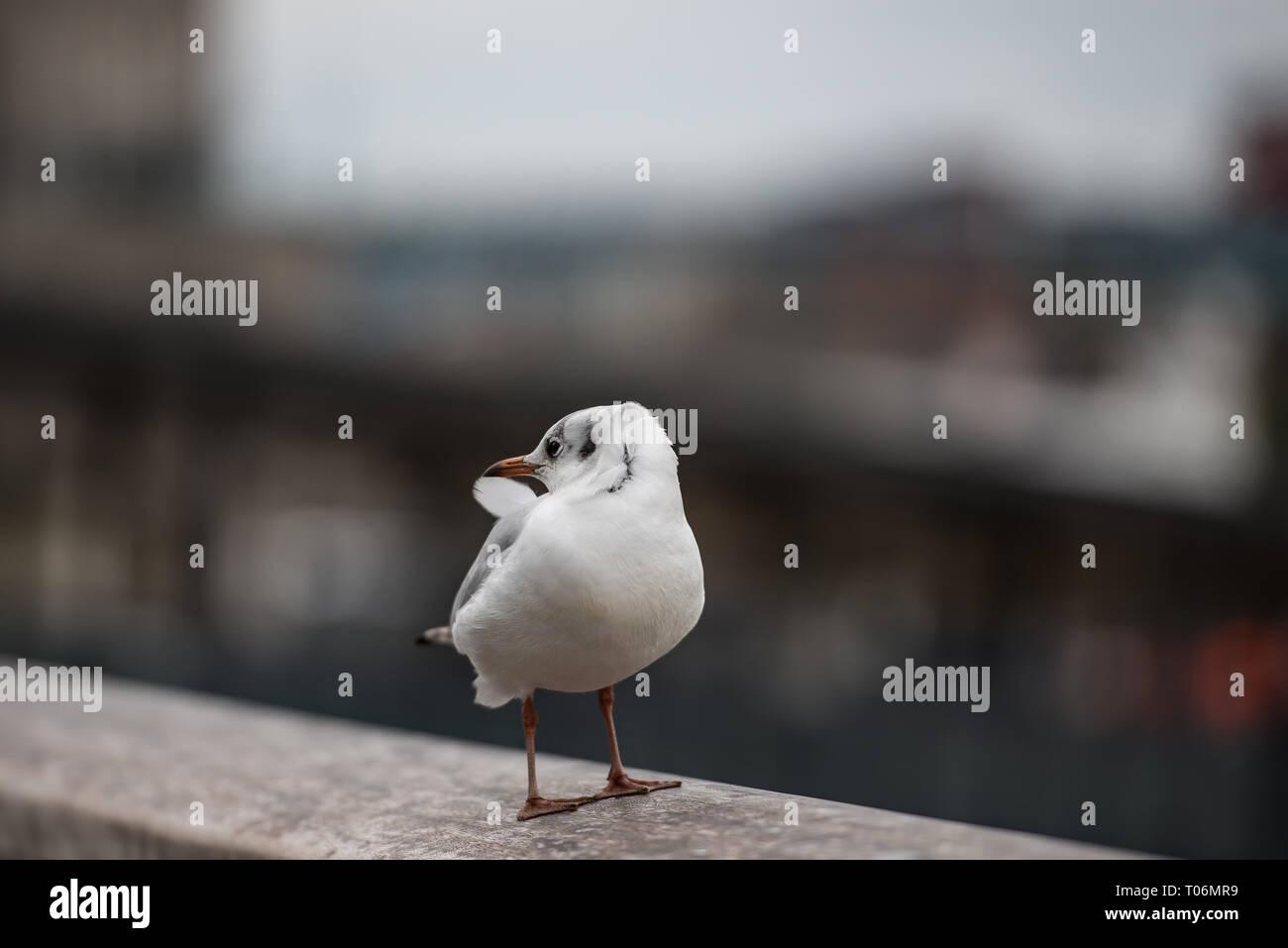 Black-headed gull on banks of river Thames in winter plumage - Stock Image