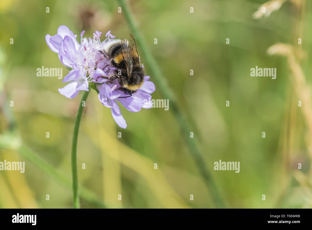 Bumblebee on scabious flower - Stock Image