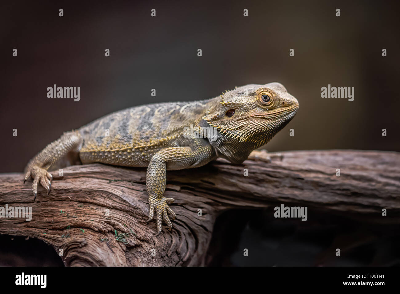An alert bearded dragon full length as it rests on an old wooden log against a dark coloured background Stock Photo