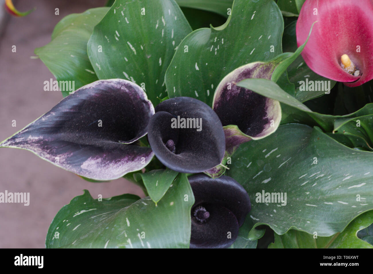 Dark Purple And One Red Calla Lilies In Field Of Green Speckled