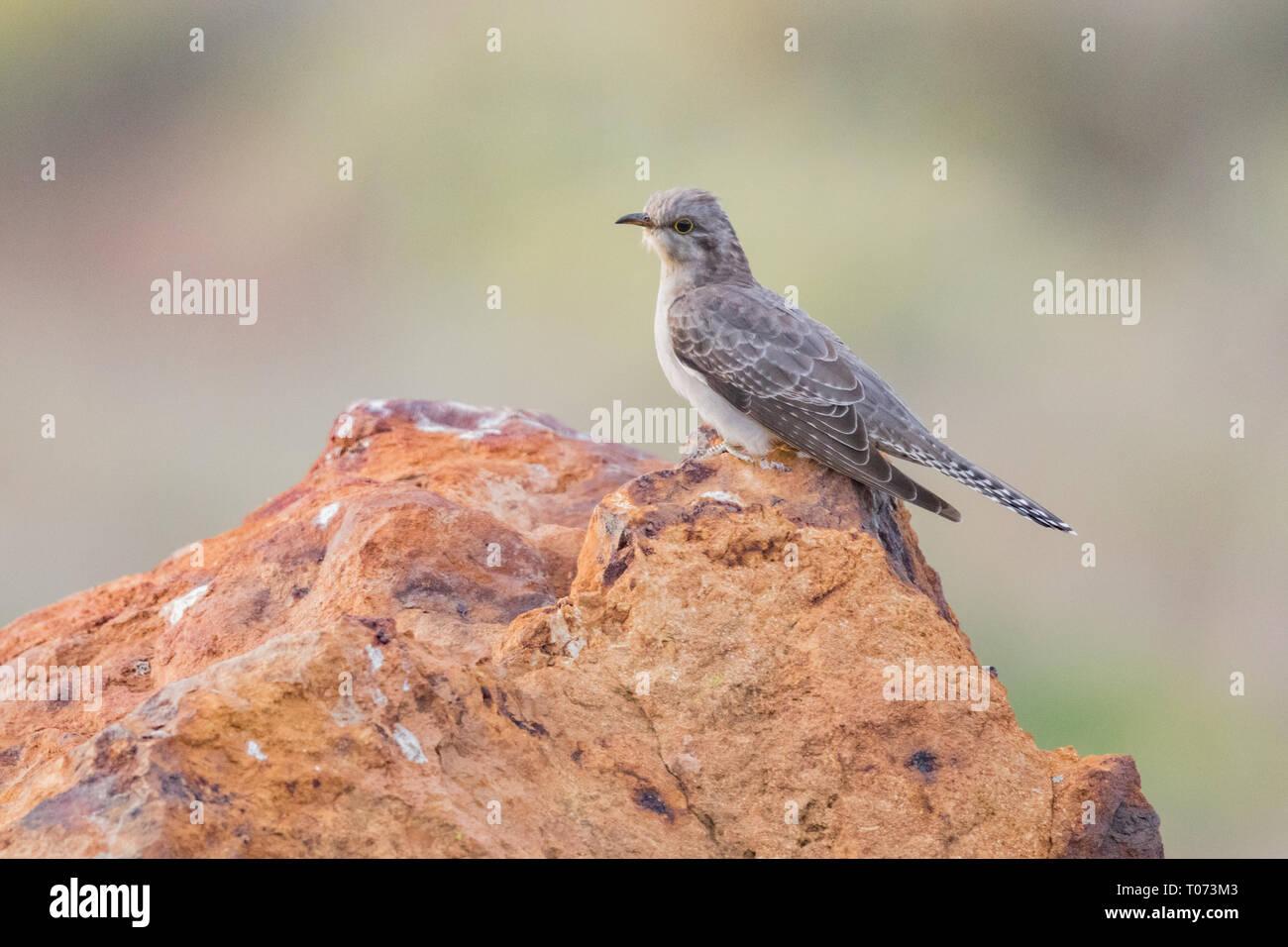 pallid cuckoo (Cacomantis pallidus) - Stock Image