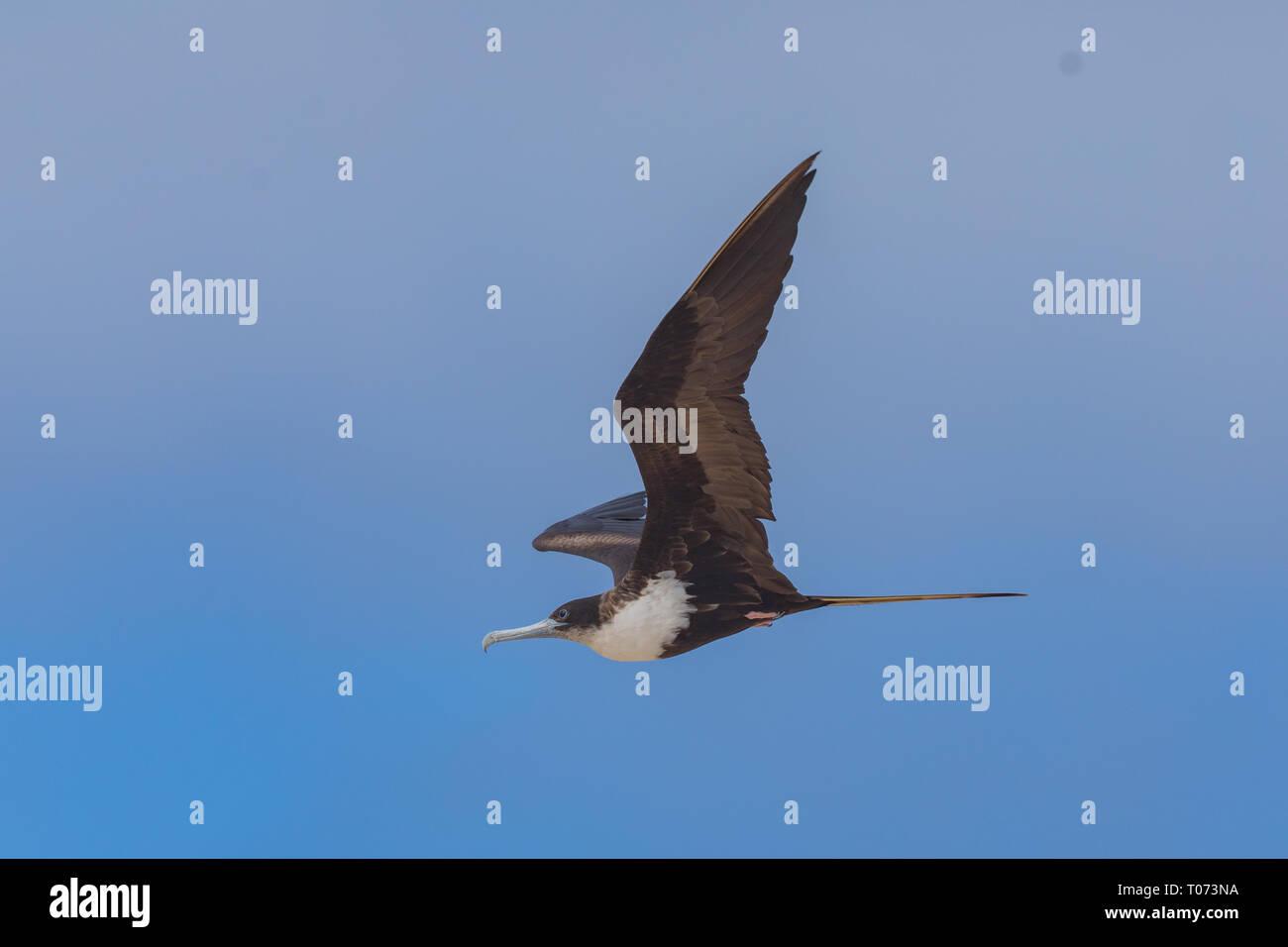 Great Frigatebird (Fregata minor) - Stock Image