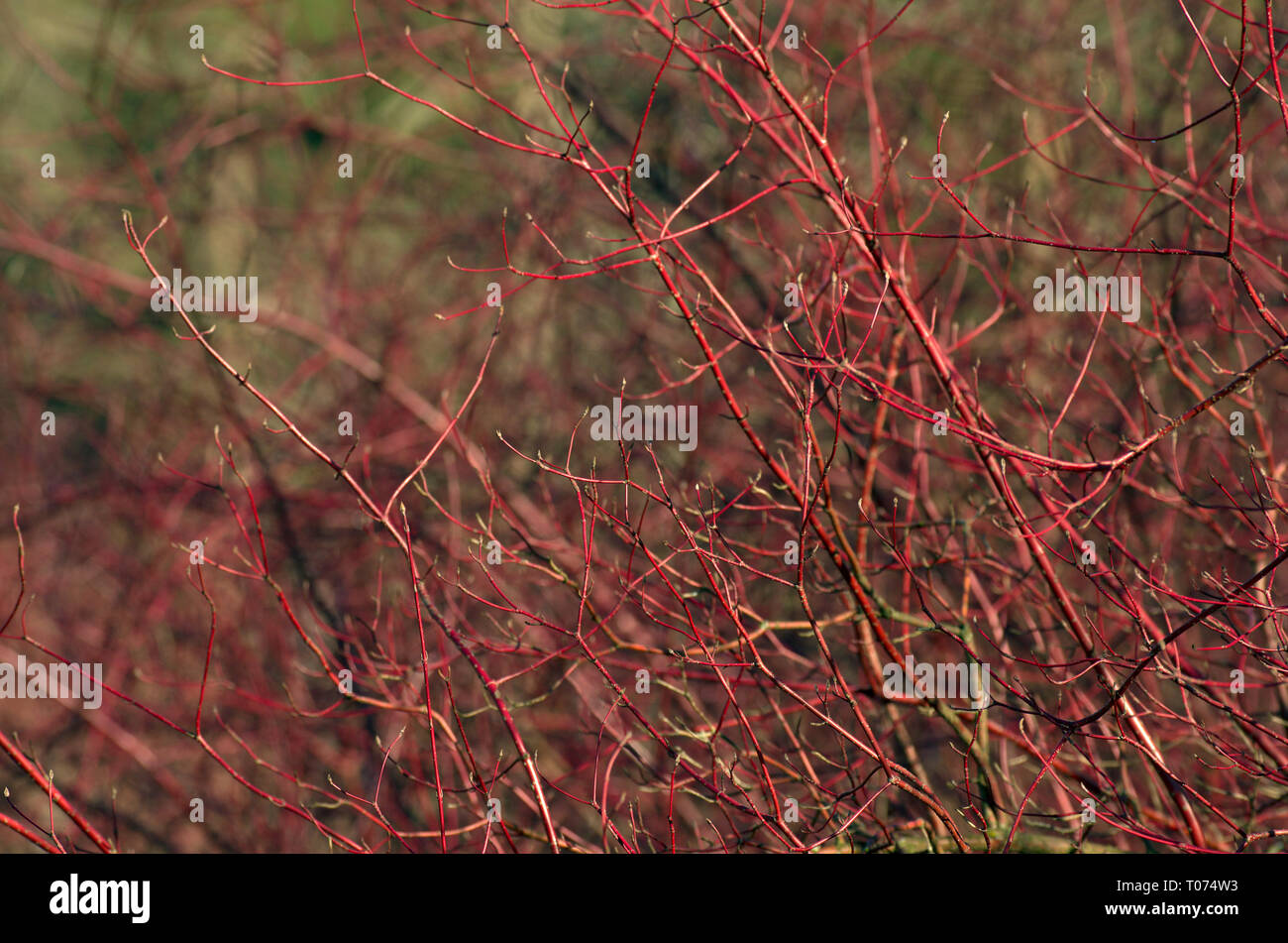Shrub with red branches and green swelling buds named White dogwood under the spring sun - Stock Image