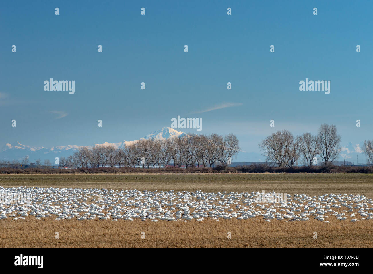 Overwintering migratory Lesser Snow Geese, Chen caerulescens, feeding and resting in an agricultural field at Brunswick Point, Ladner, BC. Stock Photo