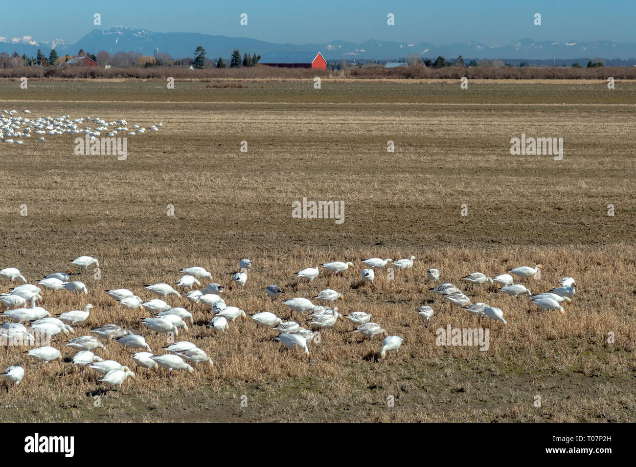 Overwintering migratory Lesser Snow Geese, Chen caerulescens, feeding and resting in an agricultural field at Brunswick Point, Ladner, BC. - Stock Image