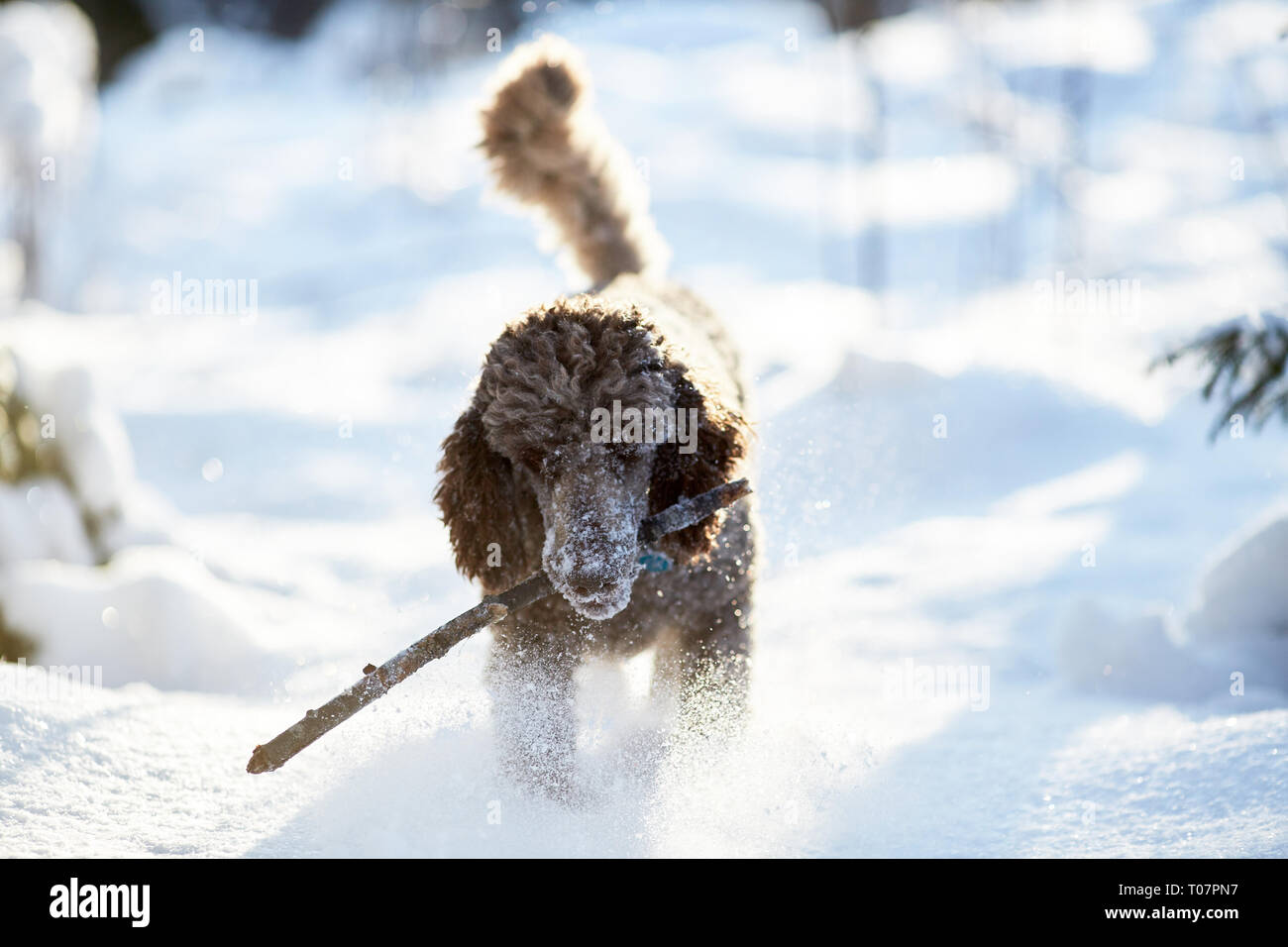 Standard poodle running and enjoying the snow on a beautiful winter day. Playful dog in action with a toy on a snowy field in Finland. Active lifestyl - Stock Image
