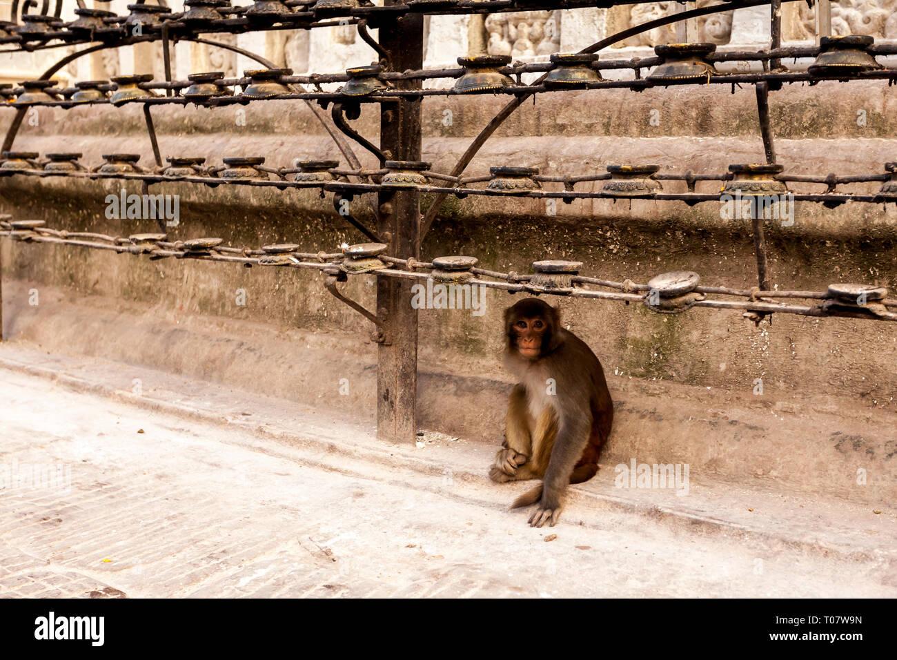 Cute monkey near Swayambhunath Temple - Monkey Temple, Kathmandu, Nepal - Stock Image