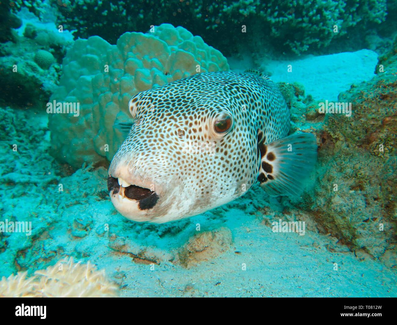 Riesenkugelfisch (Arothron stellatus), Rotes Meer, Aegypten Stock Photo