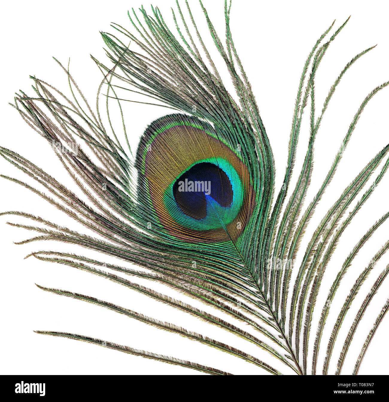 Peacock tail feather - Stock Image