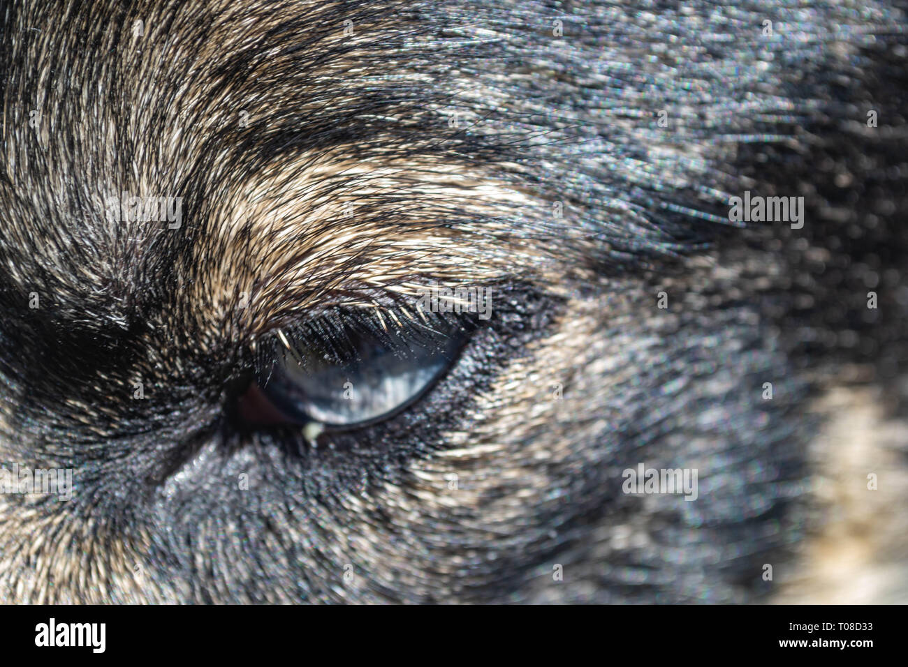 close up of husky's blue eyes - Stock Image