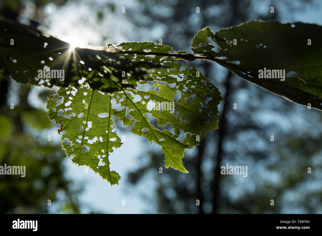 Sun rays shining through green and holey leaves on a tree - closeup Stock Photo
