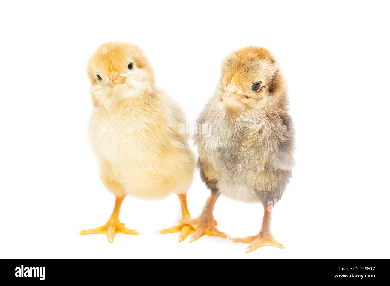 Two chickens on white background, isolation, village, summer - Stock Image