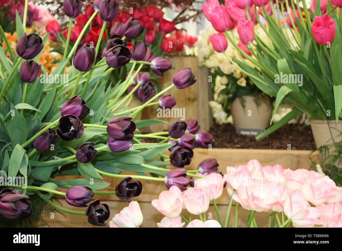 Tulips flowers on display Stock Photo