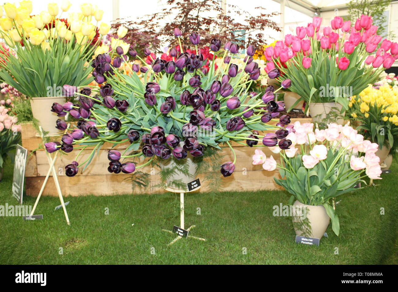 Tulips flowers on display Stock Photo