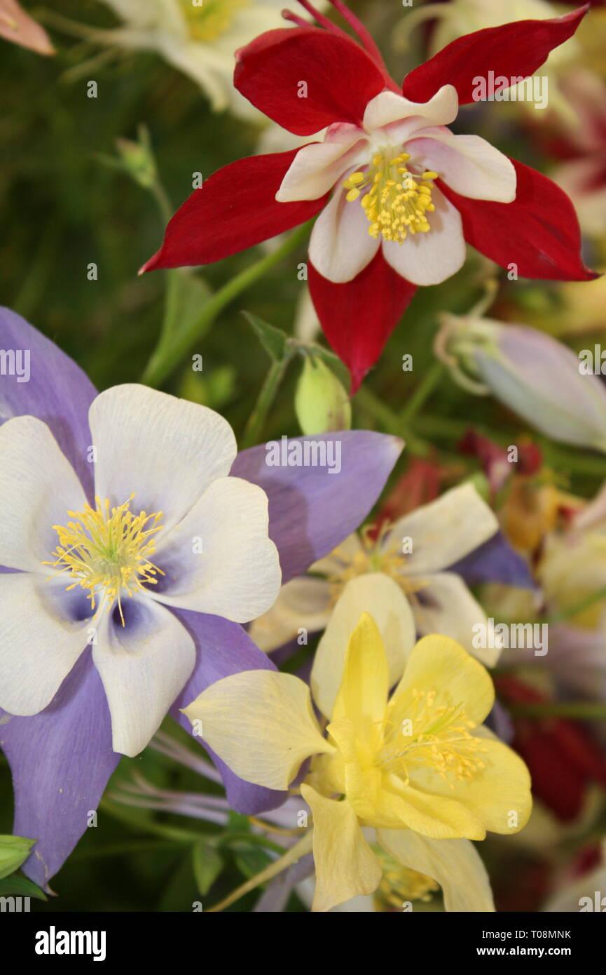 Aquilegia flowers Stock Photo