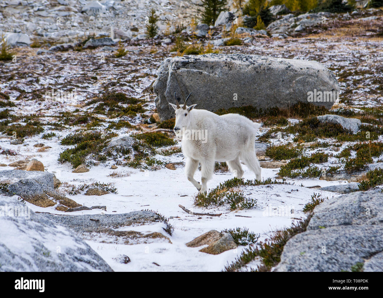 A mountain goat in the Upper Enchantment Lakes Wilderness Area, Washington Cascades, USA. - Stock Image
