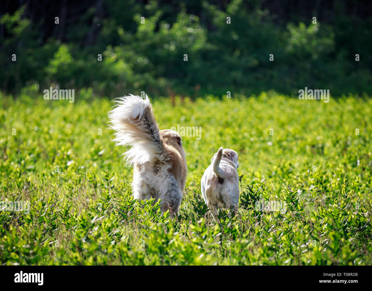 Rear view of two dogs exploring in an open field, Manitoba, Canada. - Stock Image