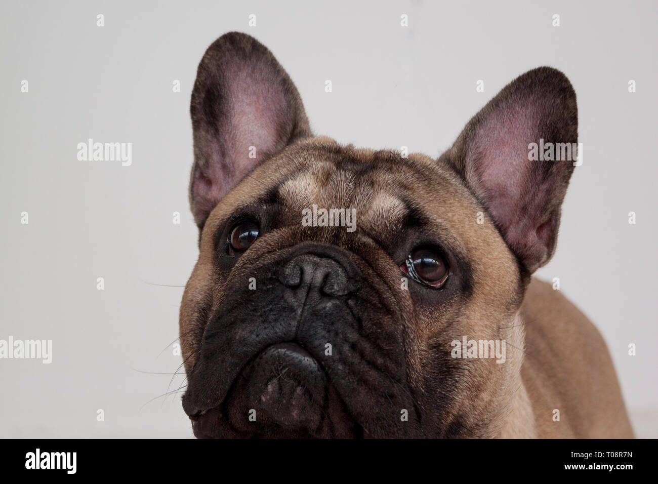 Black masked fawn french bulldog puppy close up. Pet animals. Purebred dog. - Stock Image